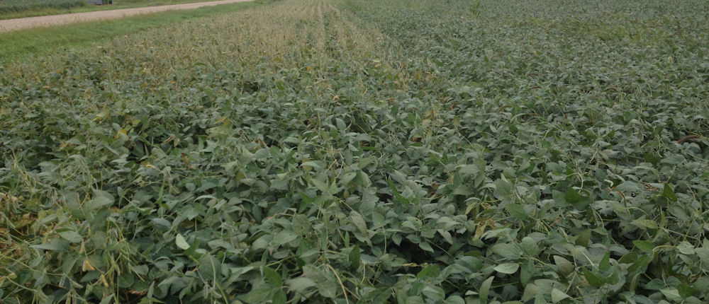 Field showing untreated area. Rest of field received Procidic. Symptoms in the untreated area are those of Sudden Death Syndrome.