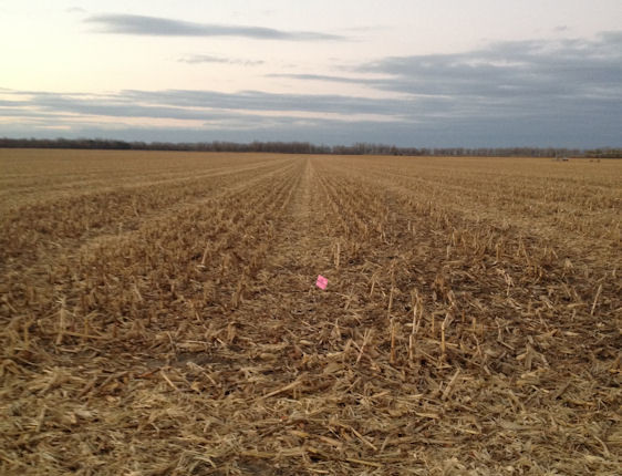 Corn field harvested