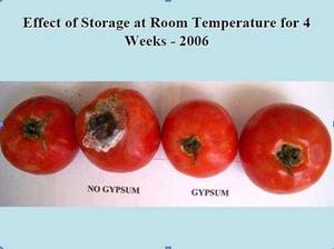 Tomato Study